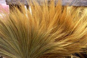 Prydplante hvede græs frøsorter