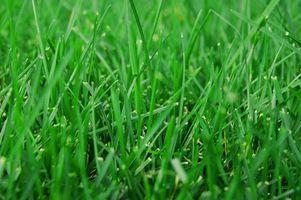 Hvordan at bruge mirakel vokse nyligt seedede græs