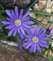 Violet ukrudtsmiddel, som ikke vil skade andre blomster