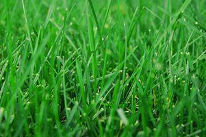 Græsplæne skadelige insekter