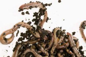 Døde orme i min gård