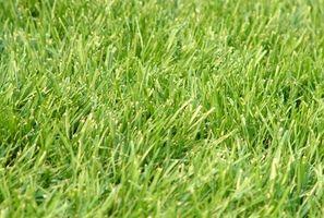 Det bedste tidspunkt at plante græs i en Zone 5 i Auburn, Washington