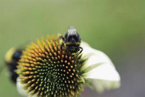 Hjemmelavet Bee insekticid