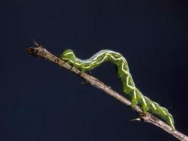 Sådan Stop møl larver fra spise kaktus
