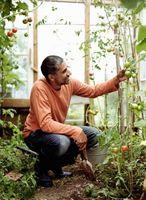 Sådan Treat tidlige skimmel svamp i tomatplanter