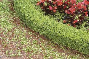 Sådan Care for Fading Boxwoods