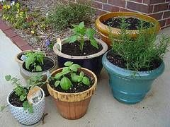 Hvordan man dyrker økologiske grøntsager i Potter