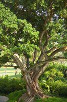 Ficus og Whiteflies