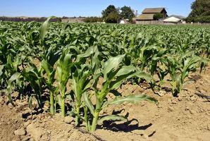 Sæsonen til at plante majs