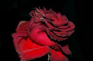 Hvordan man bevarer friske roser