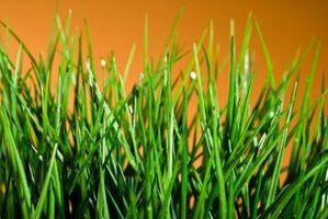 Hvad slags græs er i min plæne?
