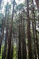 Er min store fyrretræer penge værd?