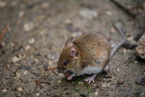 Hvordan at slippe af mus i huset når fælder & giftstoffer ikke har arbejdet