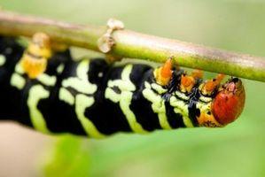 Græs larver