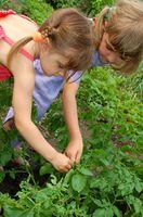 Trinvise økologiske Vegetabilske havearbejde
