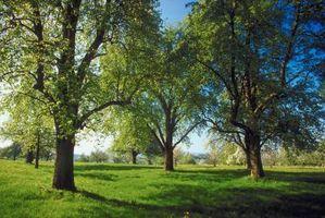 Hvordan du slippe Bradford pæretræer af skadedyr
