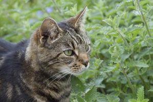 Er Rosemary planter sikker nemlig Pets?