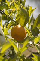 Sådan Root en Orange træ