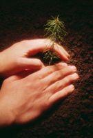 Sådan opbevarer Tree planter i en fryser