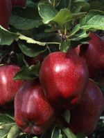 Hvide møl på æbletræer