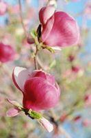 Agurk biller på Magnolia blomster