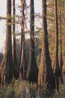 Cypres træ vil dræbe myrer?