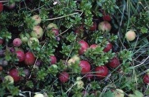 Highbush tranebær skadedyr