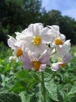 Afstand til udplantning kartofler