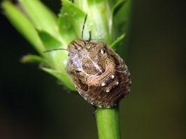 Hvordan at slippe af med Boxwood Bugs