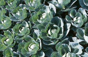 Hvorfor kål familie planter visner i varmen?