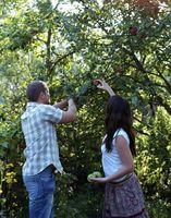 Hvornår bør jeg Spray min æbletræer for insekter i North Carolina?