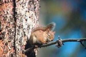 Hvordan at slippe af røde egern