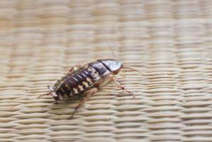 Om træet Roaches