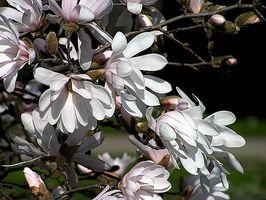 Plantning Stjerne Magnolia frø