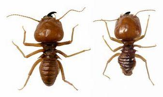 Hvor hen til forhindre termitter fra nye træ
