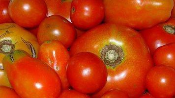 Hvordan at vokse høj producerer tomatplanter
