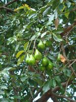 Avocado træer & Gopher bure