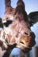 Hvordan man kan indarbejde Zebra & giraf i et soveværelse