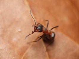 Den bedste måde at slippe af med myrer i huset