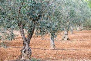 Træ Spray for oliven svamp