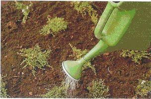 Hvordan til at plante timian i plænen