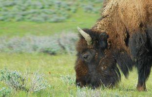 Hvor længe kan Buffalo græsfrø lægge hvilende?