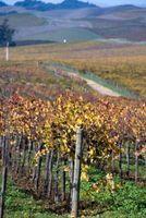 Hvornår man skal plante Muscadine druer