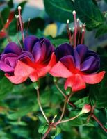 Forskellen mellem Pink & Fuchsia