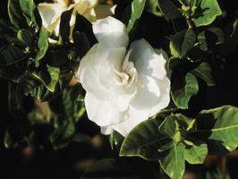 Hvordan man behandler sygdomme på Gardenia blade