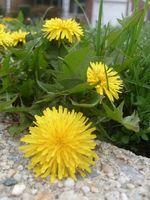 Er der en økologisk ukrudtsmiddel for din græsplæne?