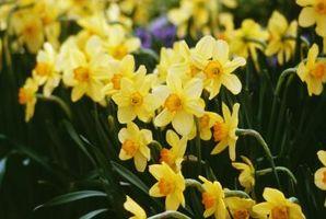 Formering af en plante, Narcissus