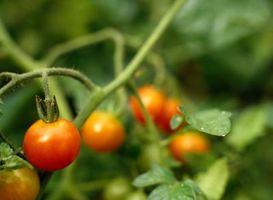 Finde korrekt metode til brug af hestegødning som gødning for tomater