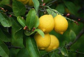 Ponderosa citrontræer & klima