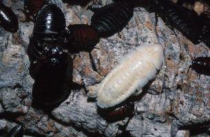 Hvordan til at identificere insektlarver reder